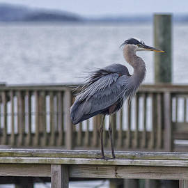 Scruffy Heron by Phill Doherty