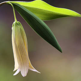 Sessile Bellwort - Wild Oats by Thomas J Martin