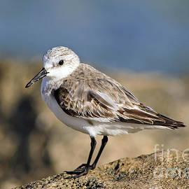 Shorebird by Teresa Zieba