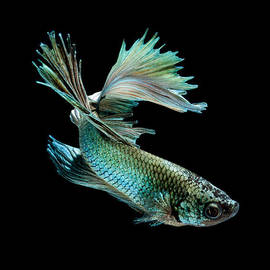 Siamese Fighting Fish On Black Background by Visarute Angkatavanich
