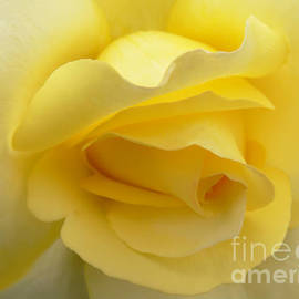 Softness of a Yellow Rose by Jennie Marie Schell
