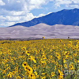 Sunflowers on the Great Sand Dunes by Scotts Scapes