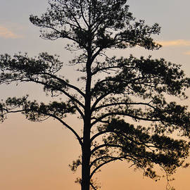 Bill Cannon - Sunset Tree