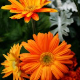 Kay Novy - Tangerine Colored Gerbera Daisies