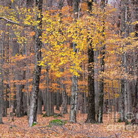 Francois Fournier - The Appalachian Yellow Maple Forest