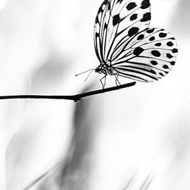 Zoe Ferrie - The Paper Kite Butterfly in Black and White