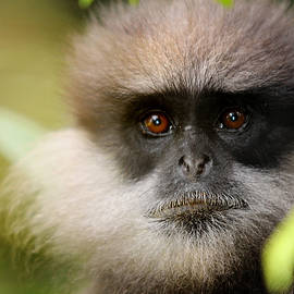 Jenny Rainbow - The Purple-Faced Langur. Nuwara Eliya.Sri Lanka