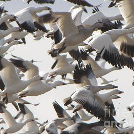 Francois Fournier - The Snow Geese Flight