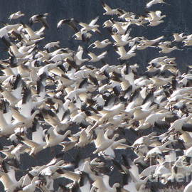 Francois Fournier - The Snow Geese Migration