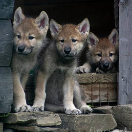Deborah Smith - Timber Wolf Pups