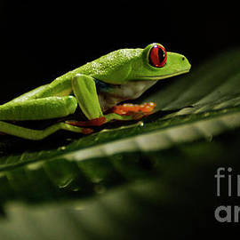 Tree Frog 5 by Bob Christopher