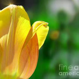 Elaine Manley - Tulip Sparkle