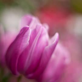 Mike Reid - Tulips Impression