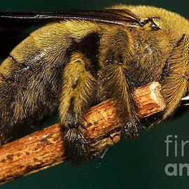 Unknown wild bee by Mareko Marciniak
