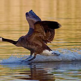Water landing by Bill Lindsay