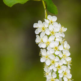 Wild Hanging Blossoms of the Chokecherry by LeeAnn McLaneGoetz McLaneGoetzStudioLLCcom