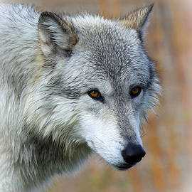 Steve McKinzie - Wolf Profile