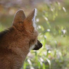 Karol Livote - Wondering Wolf