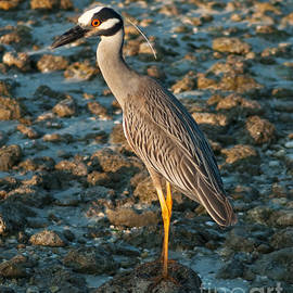 Yellow-Crowned Heron by Stephen Whalen