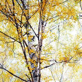 Jenny Rainbow - Yellow Lace of the Birch Foliage