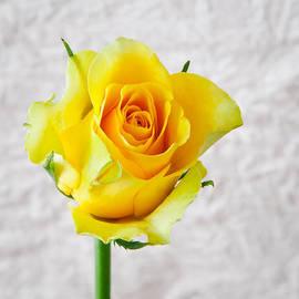 Tom Gowanlock - yellow rose
