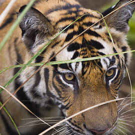 Young Bengal Tiger Behind Grass by Theo Allofs