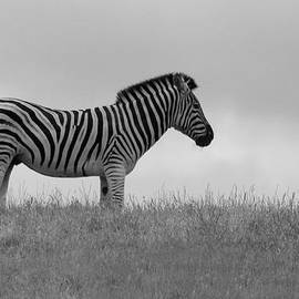 Annda Bell - Zebra Stripes