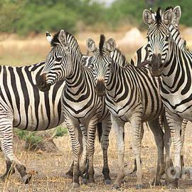 Zebras by Mareko Marciniak