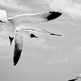 Chaos - Seagulls Black and White by Colleen Kammerer