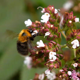 Cuckoo bumblebee by Jouko Lehto