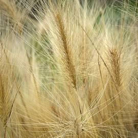 Jouko Lehto -  Foxtail barley
