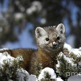 Wildlife Fine Art -  Greater Yellowstone