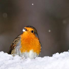 Gavin Macrae -  Robin in the Snow