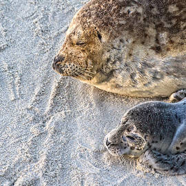 Ruth Jolly -  Seal pup resting with Mama