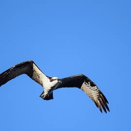 Osprey Burgess Res Divide CO by Margarethe Binkley