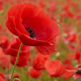 Red poppies 3 by Jouko Lehto
