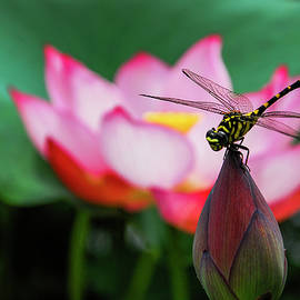 Carl Ning - A dragonfly on lotus flower