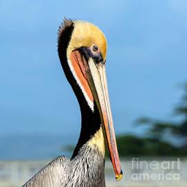 Susan Wiedmann - A Pelican Posing