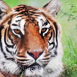 A Portrait of a Bengal Tiger in the Forest by Derrick Neill