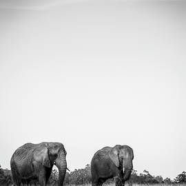 African elephants by Alexey Stiop