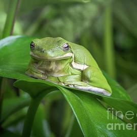 American Green Tree Frog by Yasar Ugurlu