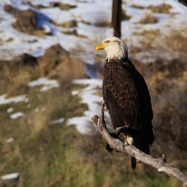Jeff Swan - An Eagle perched along the river