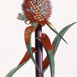 Ananas  Pineapple  - Georg Dionysius Ehret