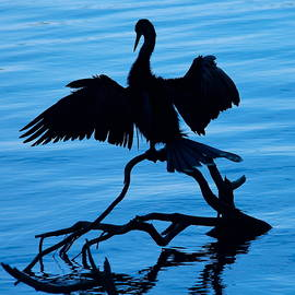 Anhinga Silhouette by Denise Mazzocco