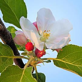 Apple Blossom by Kristin Elmquist