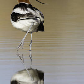 Avocet looking back by Bryan Keil