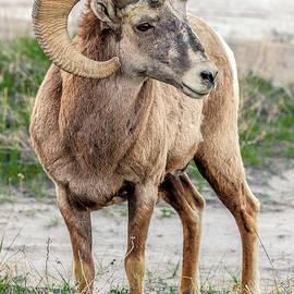 Eric Albright - Badlands Bighorn