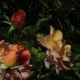 Balboa Park Rose Garden Flower 8 by Phyllis Spoor