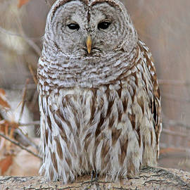Barred Owl by Gary Wing