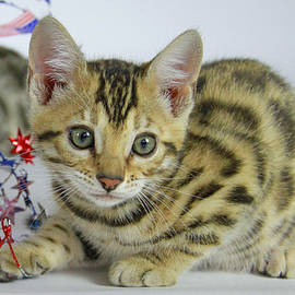 Bengal Kitten  by Shoal Hollingsworth